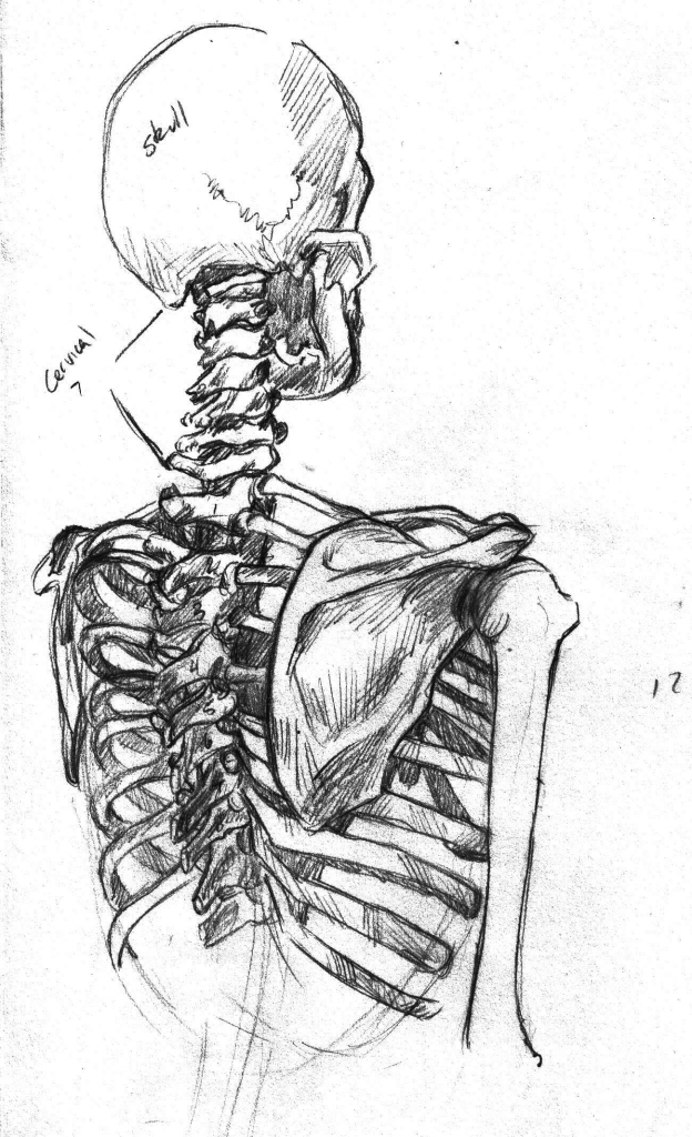 081814a Shoulder Girdle Study